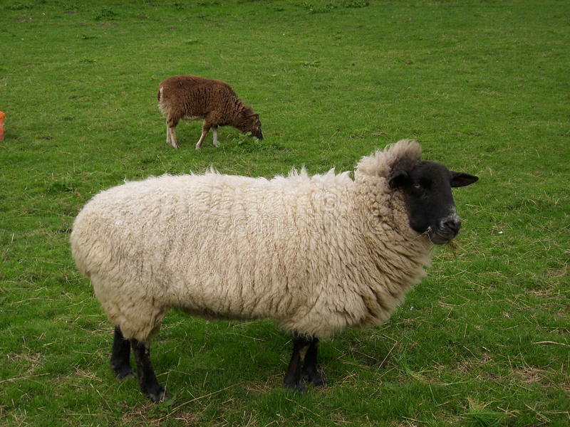 Black headed sheep. Sheep with a black head and legs. Woolly coat. In a grassy field and with a brown sheep behind royalty free stock image