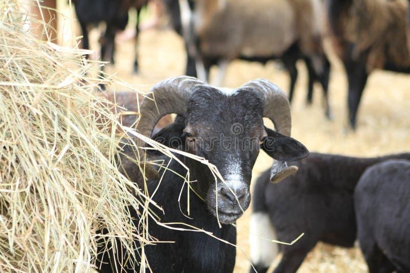 Peek a Boo Sheep. Sheep Black White Hay Ram Horns Eyes nose mouth Peek a Boo Heard Farming Farmer Farm Country Autumn royalty free stock photos