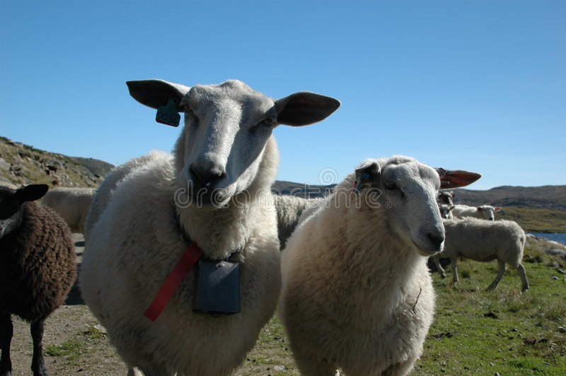 Sheep and blue sky stock images