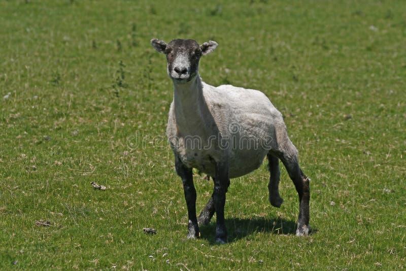 Sheep In Bodmin Moor Stock Image