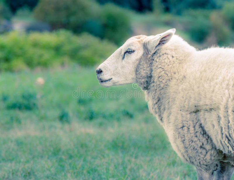 Sheep_Bokeh_Animal imagem de stock royalty free