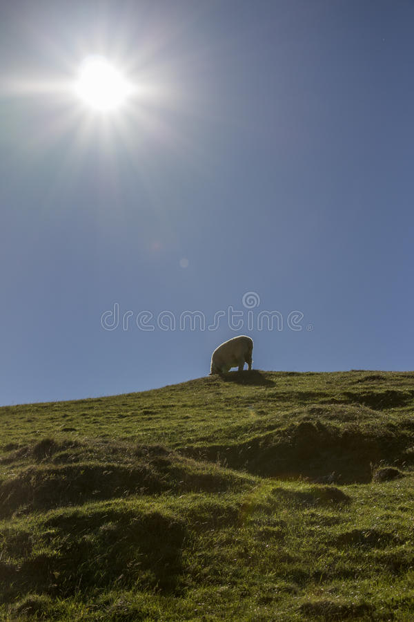 Sheep Cable bay walkaway, Nelson, New Zealand. Merino sheep on the top with sun above royalty free stock photography