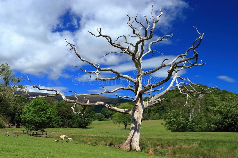 Sheep and Canada Geese under Dead Oak Tree near Keswick, Lake District National Park, Cumbria, England, Great Britain. Sheep and Canada Geese grazing in a stock photography