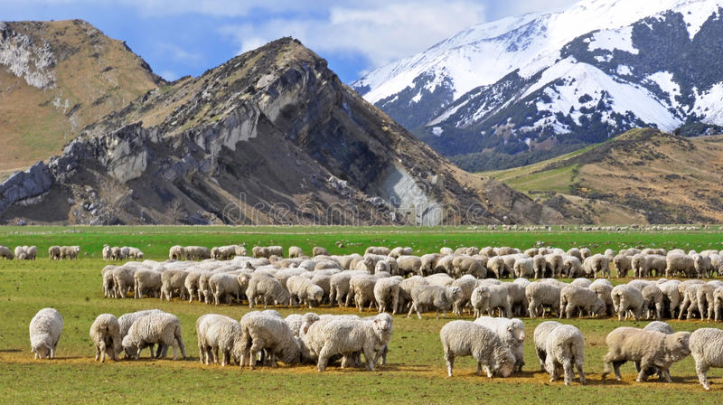 Sheep at Castle Hill, New Zealand. Sheep grazing at Castle Hill, Canterbury, New Zealand. This amazing limestone area in the Southern Alps is where The Lord of stock photos