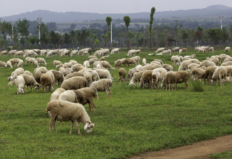 Download Sheep and cattle stock photo. Image of grass, path, browse - 26144446
