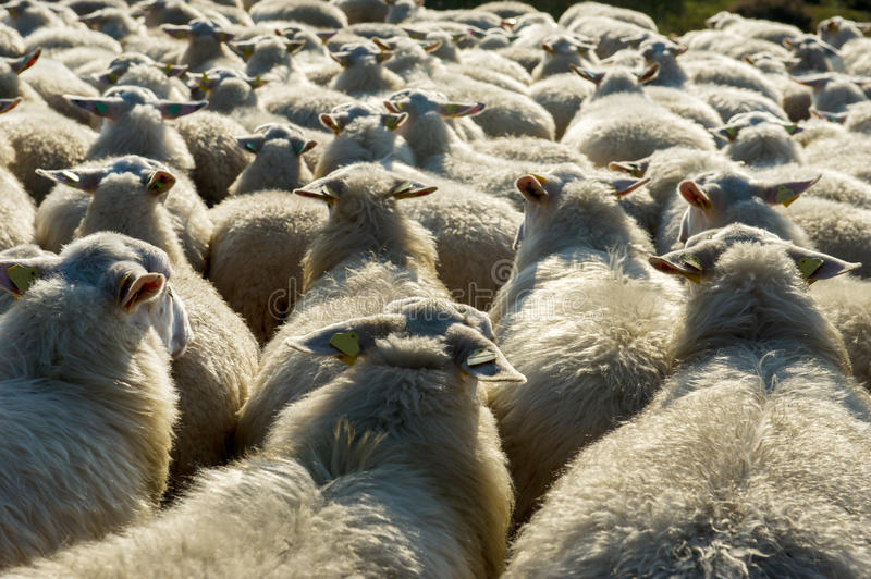Sheep Cattle In Holland Stock Photo