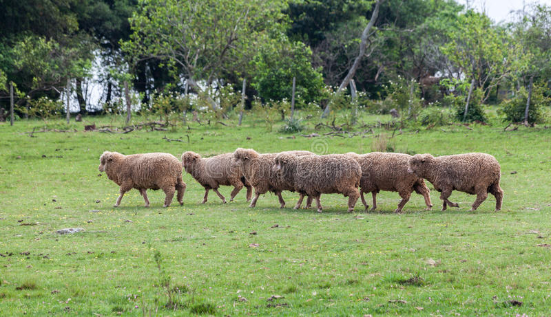 Download Sheep Cattle stock image. Image of latin, tree, hill - 31915575