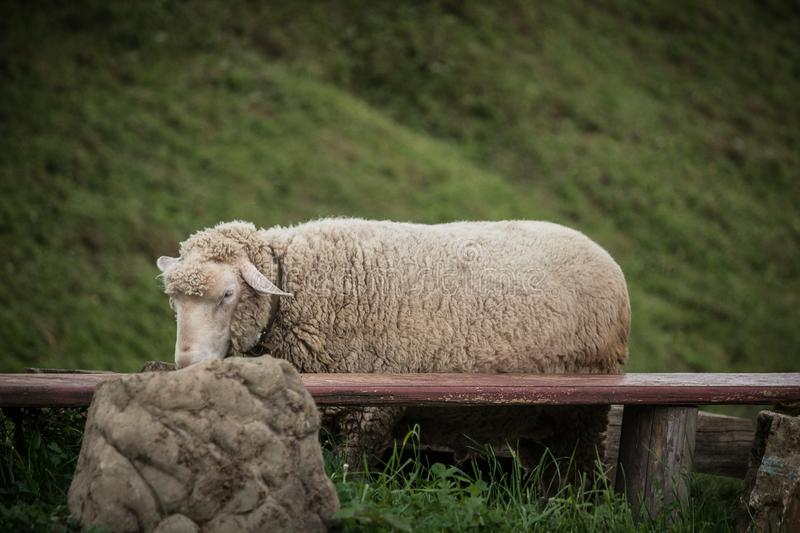 A sheep is caught near a large stone. royalty free stock image
