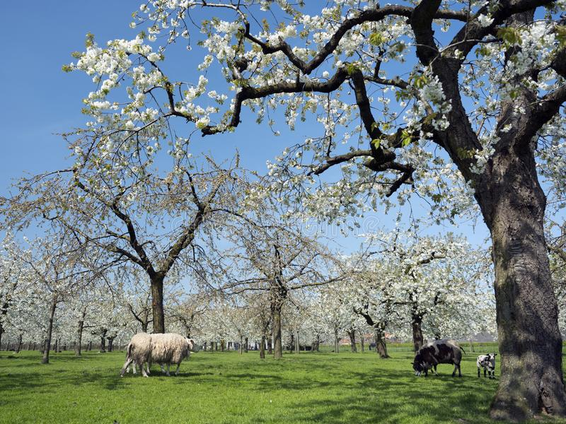 Sheep and cherry blossom spring orchard under blue sky in the netherlands. Sheep and cherry blossom spring orchard in green grass under blue sky in the stock images