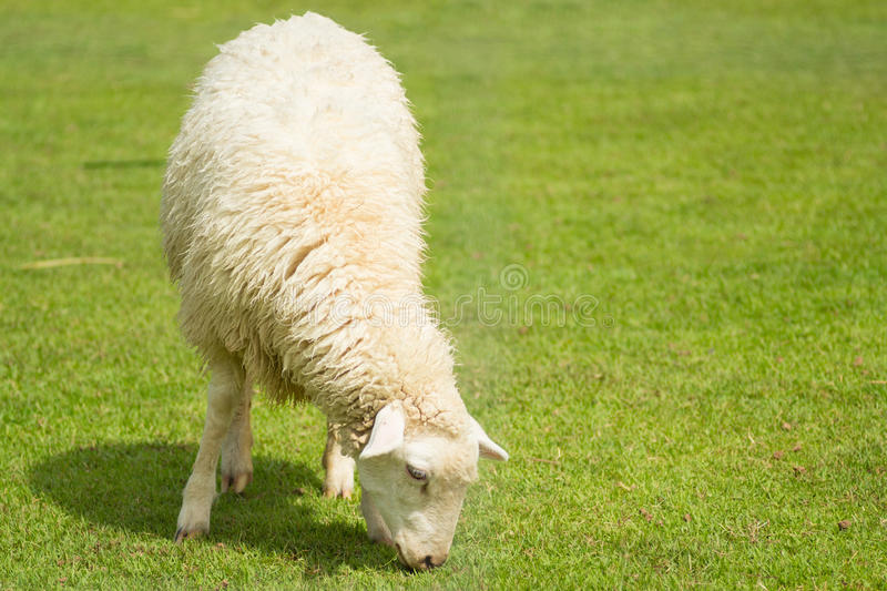 Download Sheep stock photo. Image of cute, wool, meat, pets, ears - 34920128