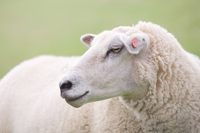 Sheep closeup stock photography