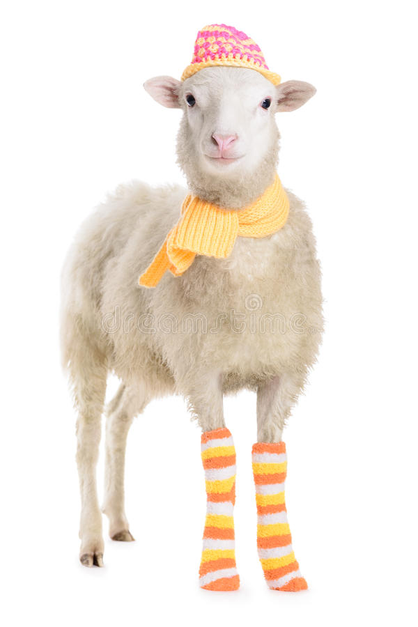 Sheep in clothes stock image
