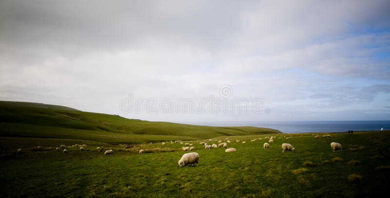 Sheep Coast. Lush green rolling hills are populated with the ubiquitous New Zealand sheep. The Catlins, New Zealand royalty free stock photo