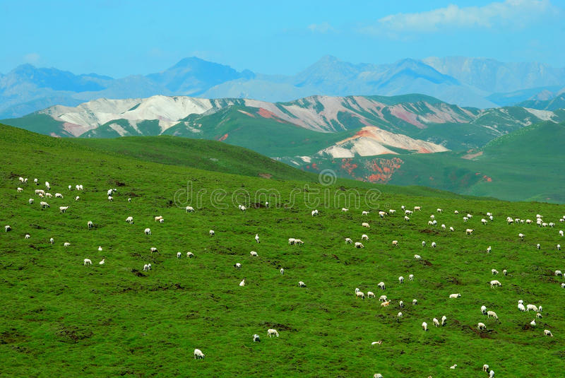 Sheep on the Colorful Mountain royalty free stock photo