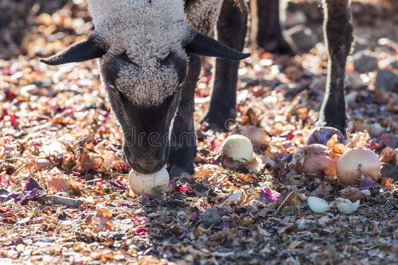 Sheep in a Colorful Pasture Eating Onions. Sheep in a Pasture Eating Onions royalty free stock photo