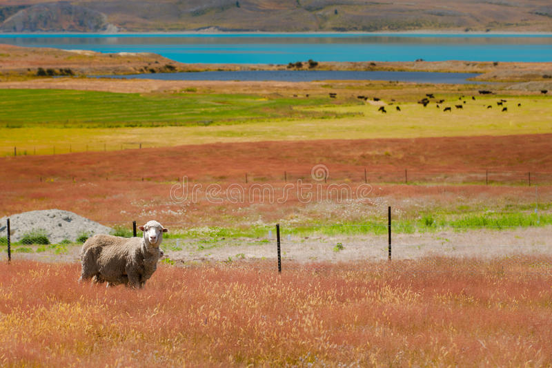 Download Sheep and Colors stock image. Image of farm, zealand - 23492265