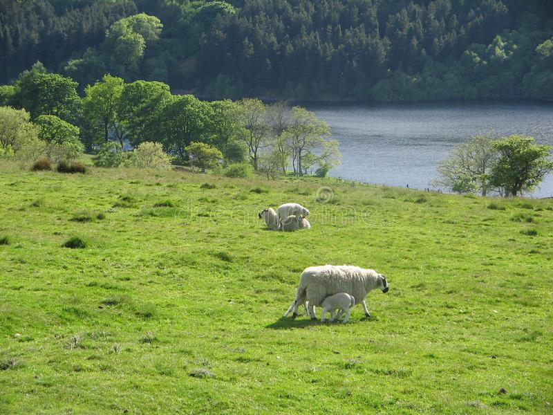 Sheep in the country stock photos