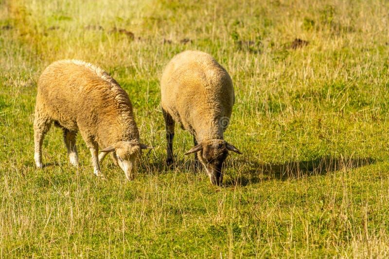 Sheep couple on a green grass royalty free stock photos