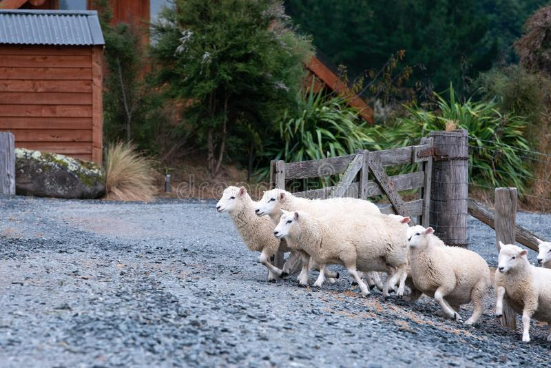 Sheep crossing a gate in Central Otago. Group of sheep crossing a gate. A wooden gate and a wooden house can be seen in the background. New Zealand, South Island royalty free stock photos