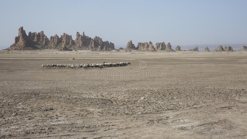 Sheep crossing Lac Abbe. Djibouti royalty free stock photo