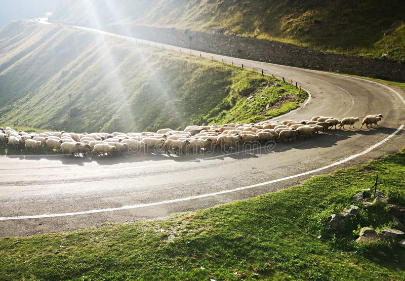 Sheep crossing the road. Transfagarasan Road, Fagaras Mountains royalty free stock photo