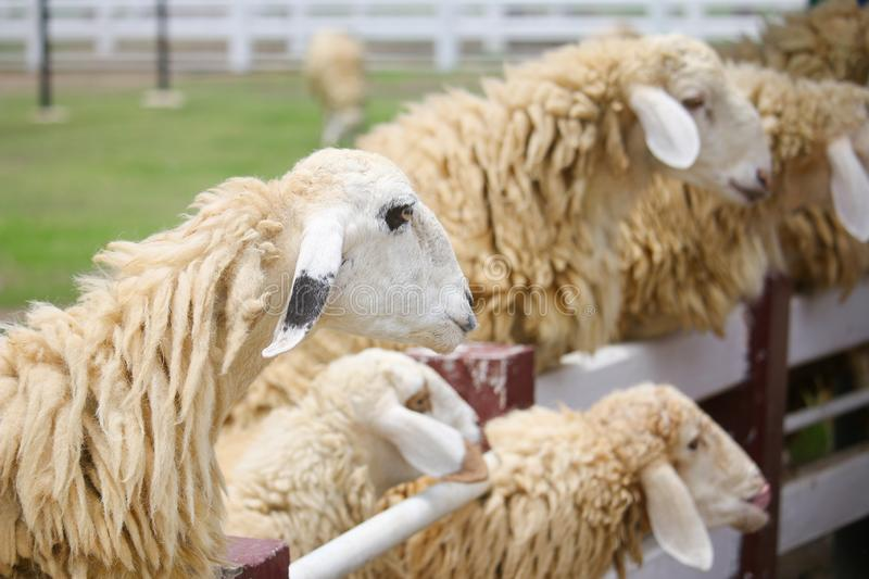The sheep have different black ears royalty free stock photo