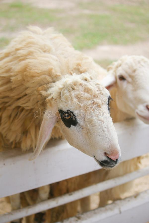The wool of sheep around eyes is black in a white fence it is outstanding stock photos