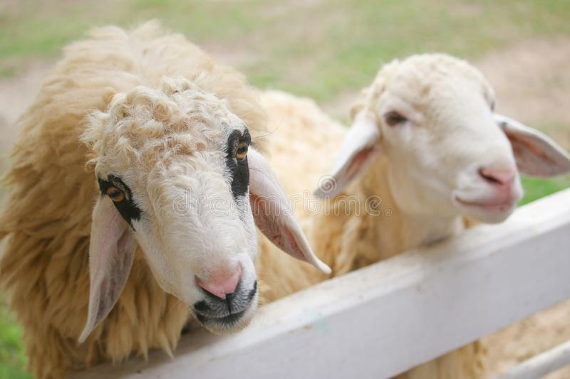 The wool of sheep around eyes is black in a white fence royalty free stock photography