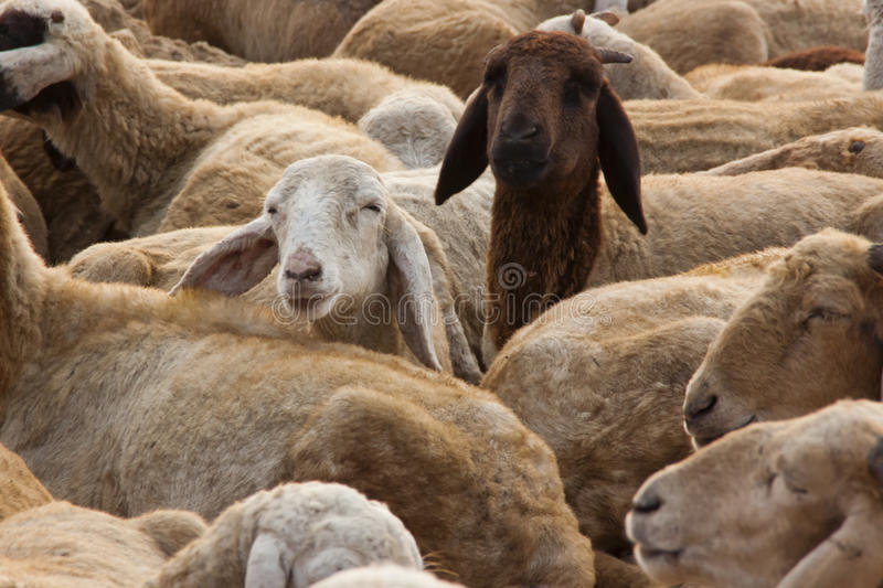 Sheep with Curiosity. A flock of sheep while in a rest royalty free stock photo