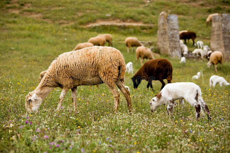 Download A Sheep With Cute Little Lambs On Meadow Stock Image - Image: 7971153