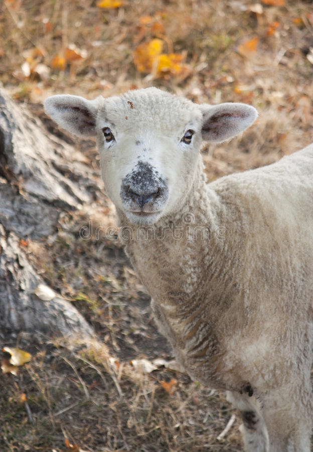 Download Sheep Stock Photo - Image: 39377959