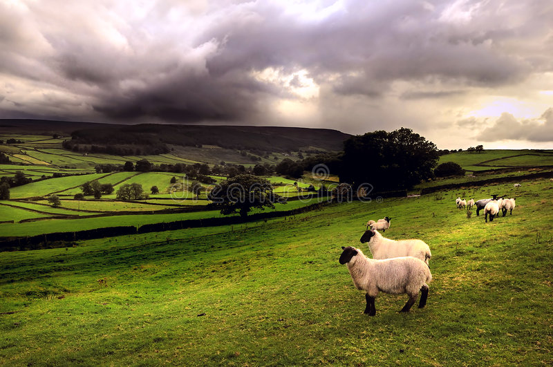 Sheep In A Dales Landscape Stock Photo