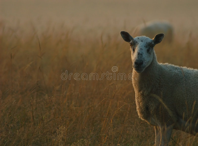 Download Sheep at Dawn stock photo. Image of herd, wild, cute, countryside - 203494