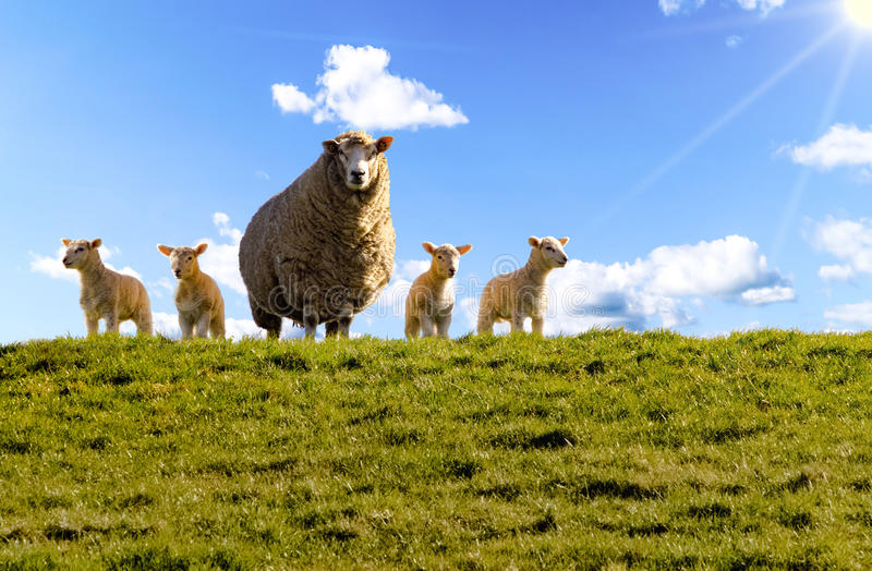 Sheep, dike, lambs, North Sea stock image