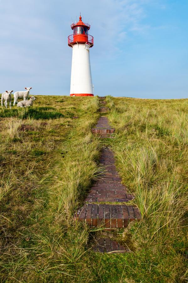 Sheep, dike, lambs, North Sea stock photography