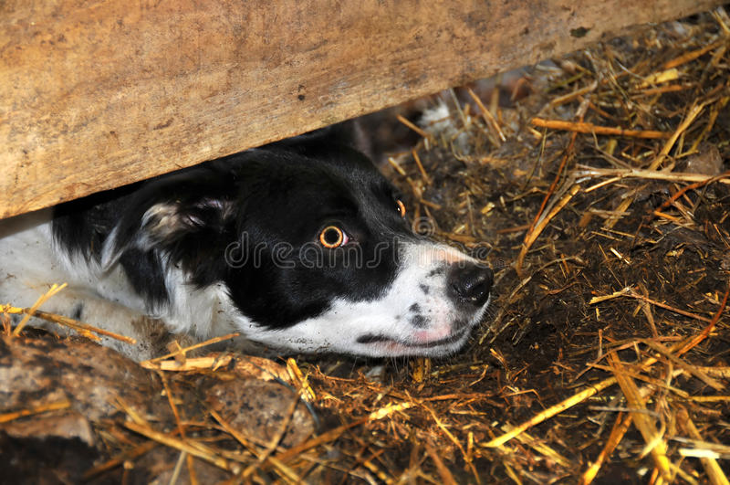 Download Sheep dog stock image. Image of attentive, trained, curious - 17088419