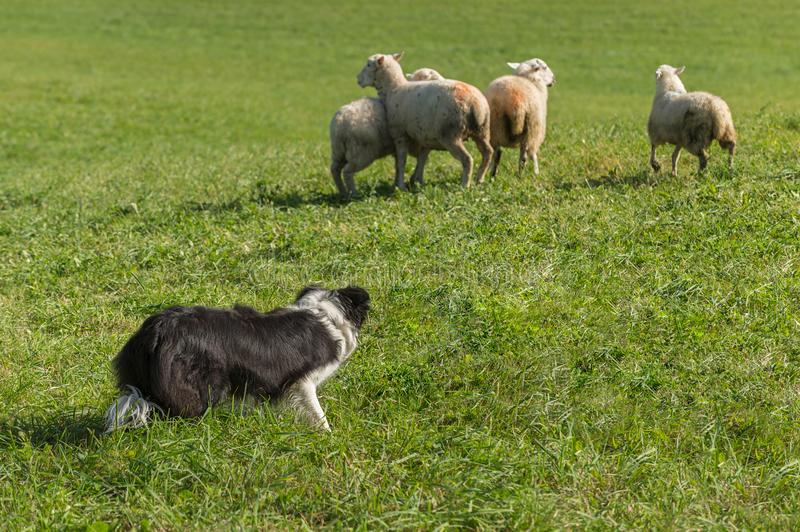 Sheep Dog Behind Group of Sheep Ovis aries. At sheep dog herding trials stock photos