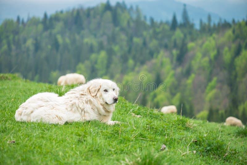 Sheep dog guard herd in Polish mountains. Sheep dog guard herd in Polish Tatra mountains royalty free stock photo
