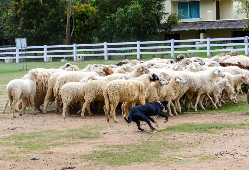 Sheep dog herding stock photo