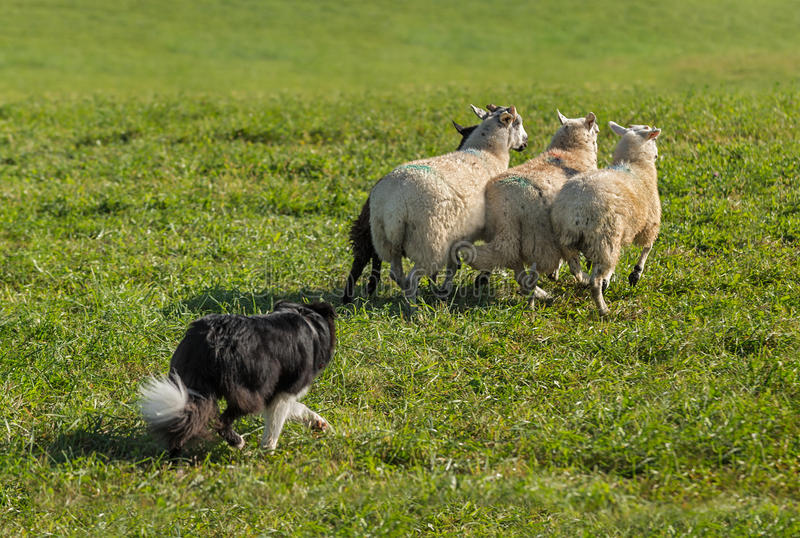 Sheep Dog Lines Up Group of Sheep Ovis aries. At sheep dog herding trials royalty free stock photo