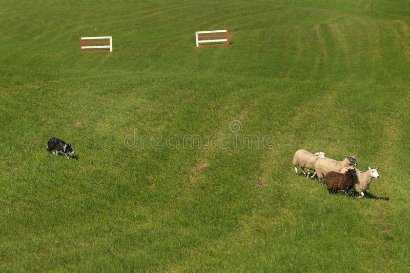 Sheep Dog Moves Sheep (Ovis aries) Past Fences. At sheep dog herding trials stock images