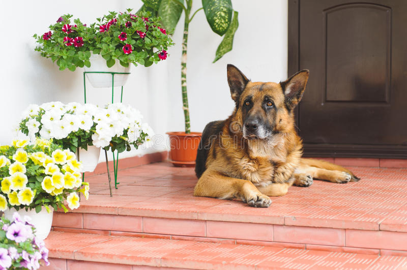 Download Sheep Dog on Porch stock image. Image of greeting, golden - 70074719
