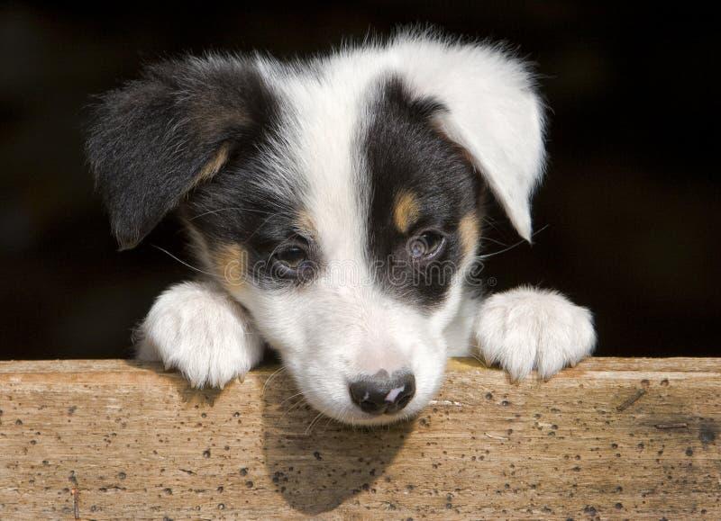 Sheep dog puppy. A sheepdog puppy peeping over a gate