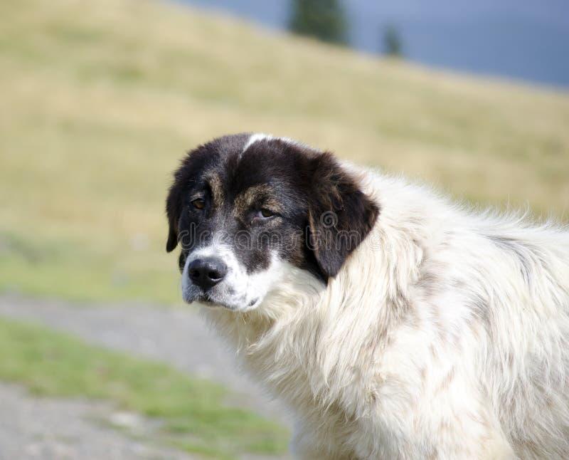 Download Romanian sheep dog stock image. Image of beautiful, dogs - 33537287