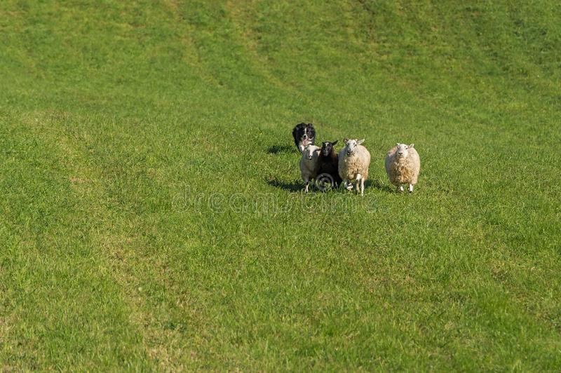Sheep Dog Runs Behind Group of Sheep Ovis aries. At sheep dog herding trials stock images