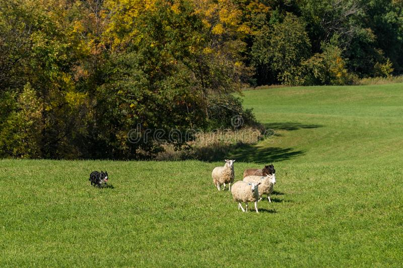 Sheep Dog Runs With Group of Sheep Ovis aries. At stock dog herding trials royalty free stock photography