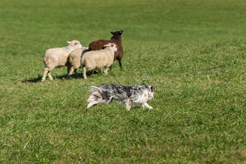 Sheep Dog Turns Group of Sheep Ovis aries. At stock dog herding trials stock photo