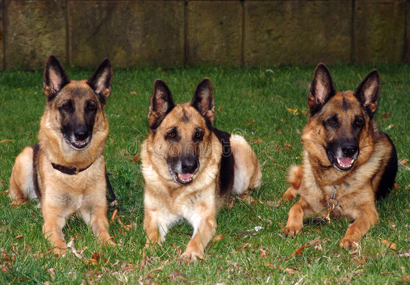 Download Sheep-dogs 02 stock image. Image of obedient, domestic - 4109263