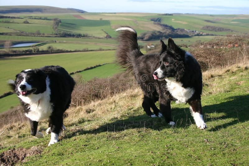 Download Sheep dogs stock image. Image of view, hairy, scenery, landscape - 3665
