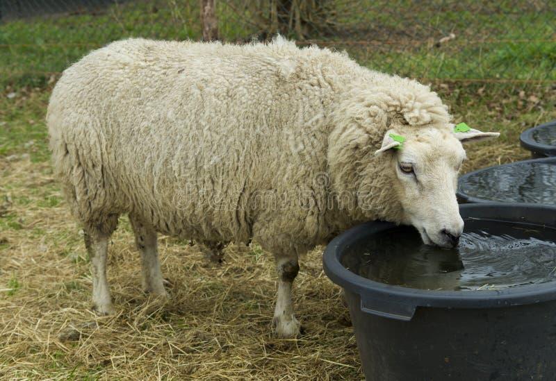 Sheep drinking water stock photo